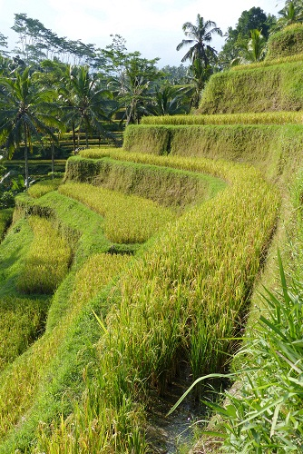 Rice terrace at Tegalalang in Bali, Indonesia