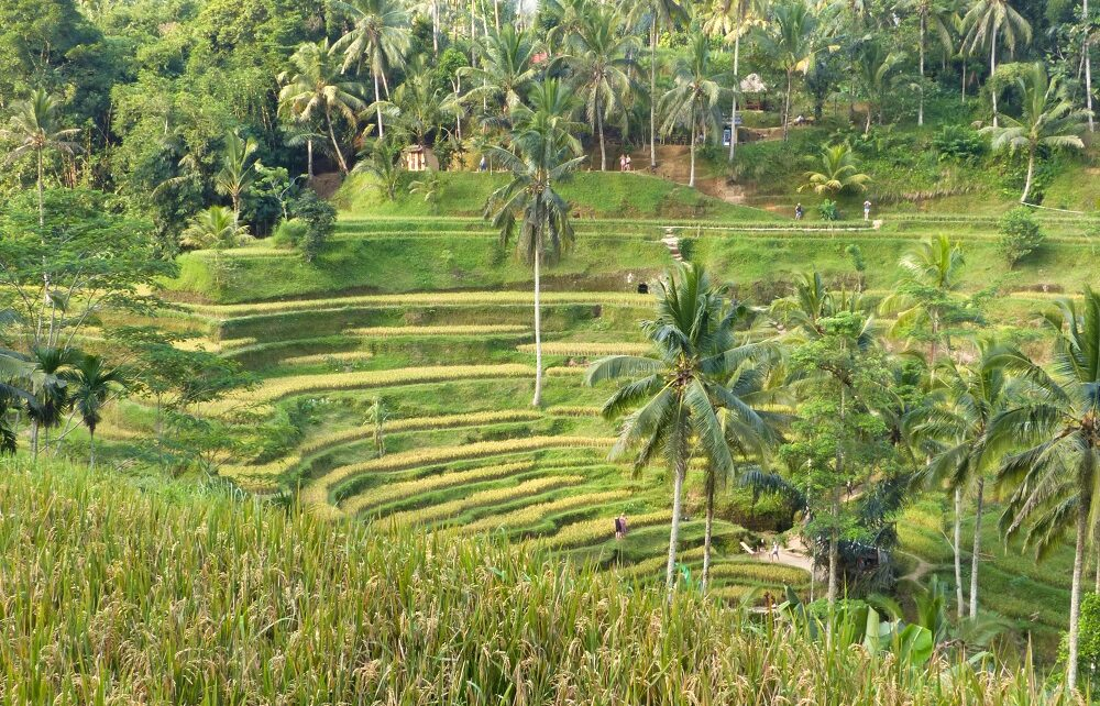 Palm trees, paths and people on Tegalalang rice terrace in Bali, Indonesia