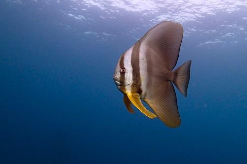 Batfish in the blue above Shinkoku Maru wreck in Chuuk Lagoon, Micronesia