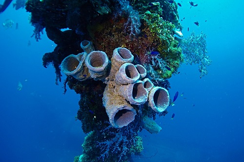 Blue branching vase sponge and soft corals on superstructure of Hoki Maru wreck in Chuuk Lagoon, Micronesia