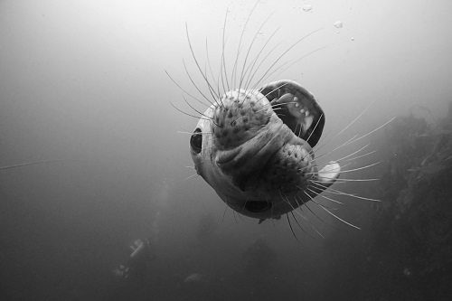 Mouth first view seen diving with seals in the Farne Islands, England