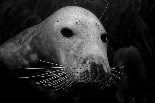 Seal face seen diving with seals in the Farne Islands, England