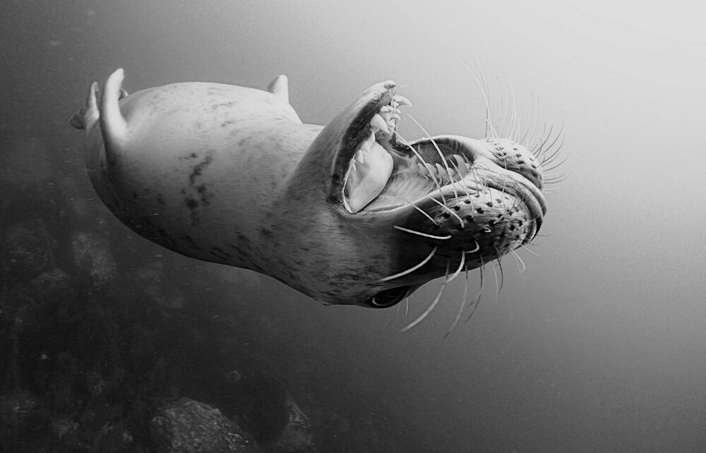 Divers and grey seal in the Farne Islands, England