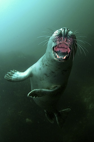 Teeth first seal seen diving in the Farne Islands, England