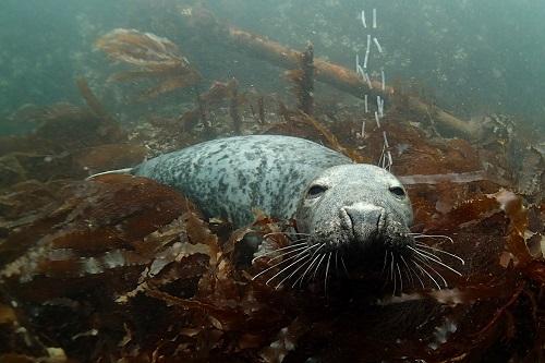 Sleeping seal seen diving in the Farne Islands, England