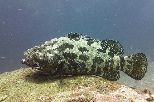 Brown-marbled grouper cleaning station seen diving the Similan Islands, Thailand