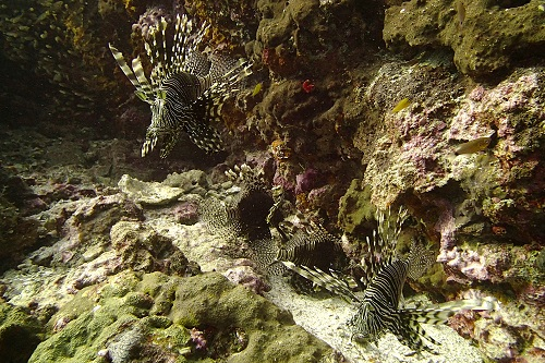 Four lionfish seen diving at Richelieu Rock, Thailand