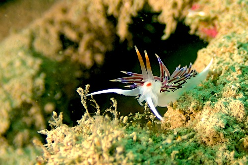 Coryphella nudibranch seen diving in Malta