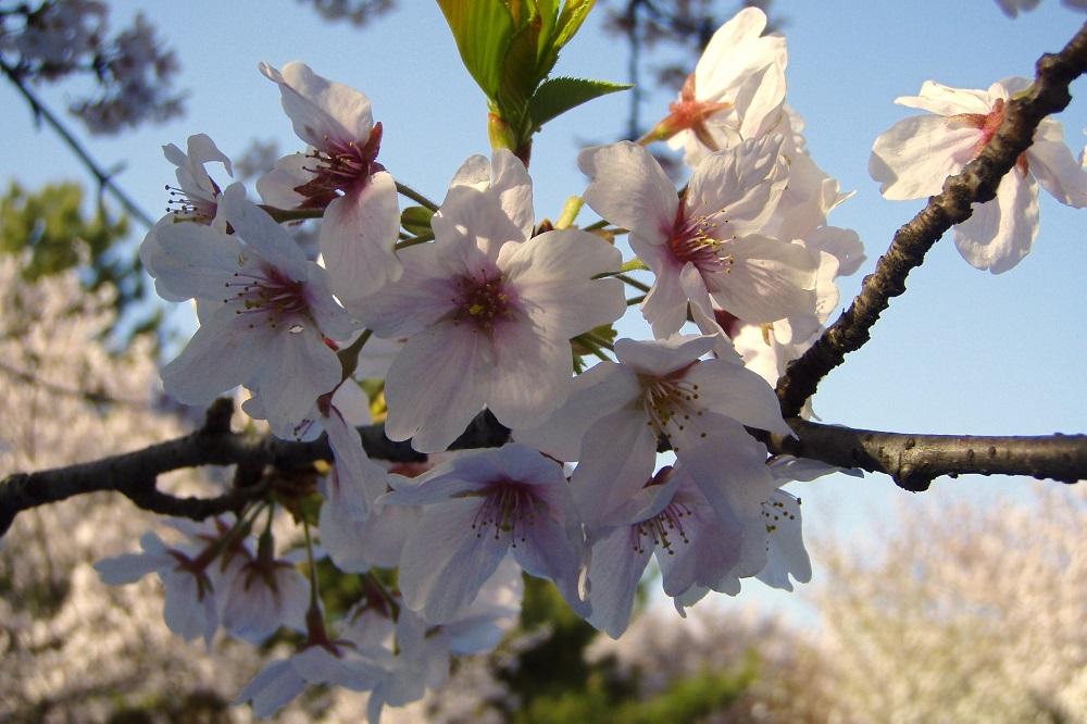 Close up of cherry blossom in Hamadera Koen, Osaka, Japan