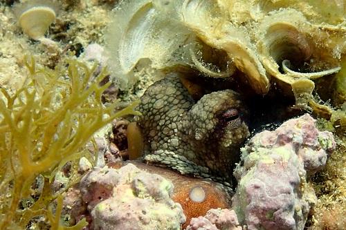 Hiding octopus seen diving the Maori wreck in Malta
