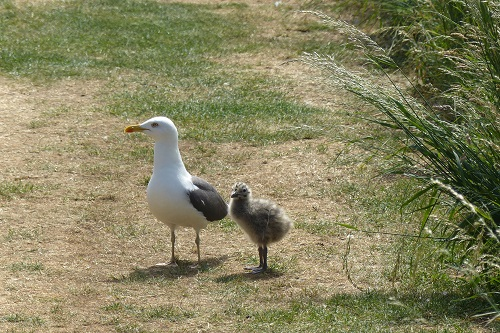Adult seagull and chick on grass at Inchcolm Island, Scotland