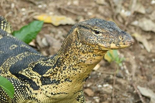 Asian water monitor lizard in Lumphini Park, Bangkok, Thailand
