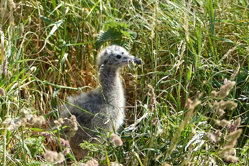 Seagull chick in long grass at Inchcolm Island, Scotland
