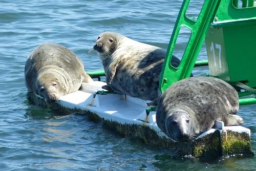 Three seals sunbathing on shipping buoy in Firth of Forth, Scotland