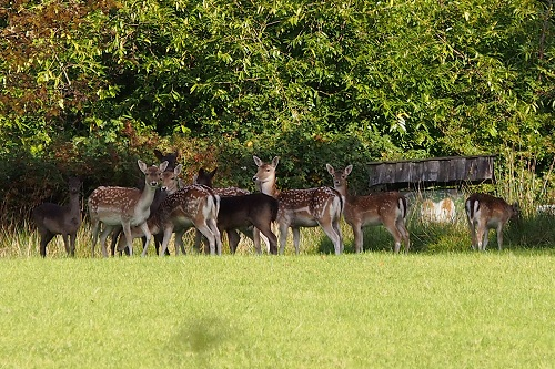 Deer on lawn at Inis Rath, Hare Krishna Island in Northern Ireland